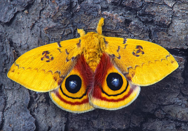 Automeris Io Silk Moth Print by Robert Jensen