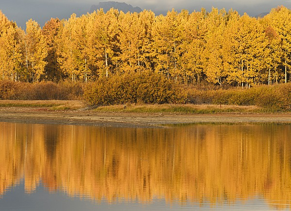 Autumn Aspens Reflected In Snake River Print by David Ponton