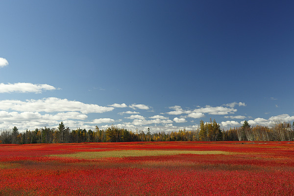 Autumn Blueberry Field Maine Print by Scott Leslie