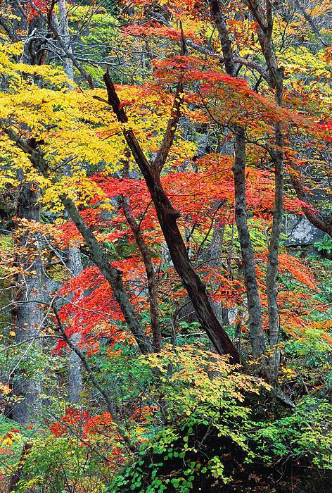 Autumn Color Japan Maples Print by Robert Jensen