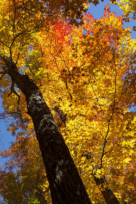 Georgia Mizuleva - Autumn Foliage Delight in Yellow Red And Orange