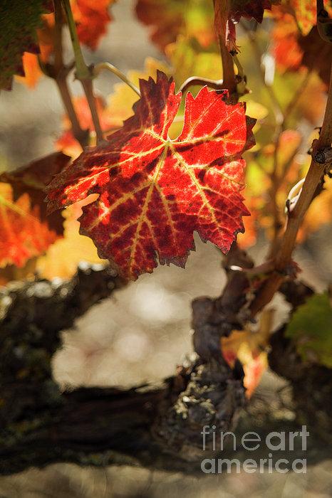 Autumn Grape Leaves Print by Charmian Vistaunet