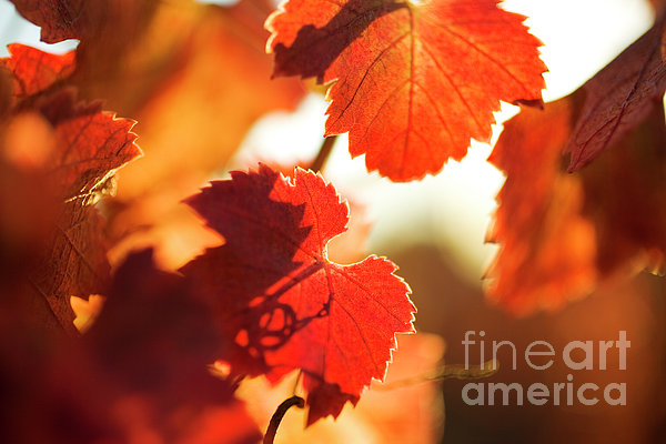 Autumn Grapevine Leaves Print by Charmian Vistaunet