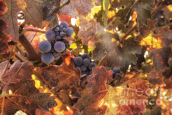 Autumn In The Vineyard Print by Michele Steffey