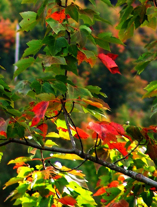 Autumn Leaves At St. Ann's Bay Print by Janet Ashworth
