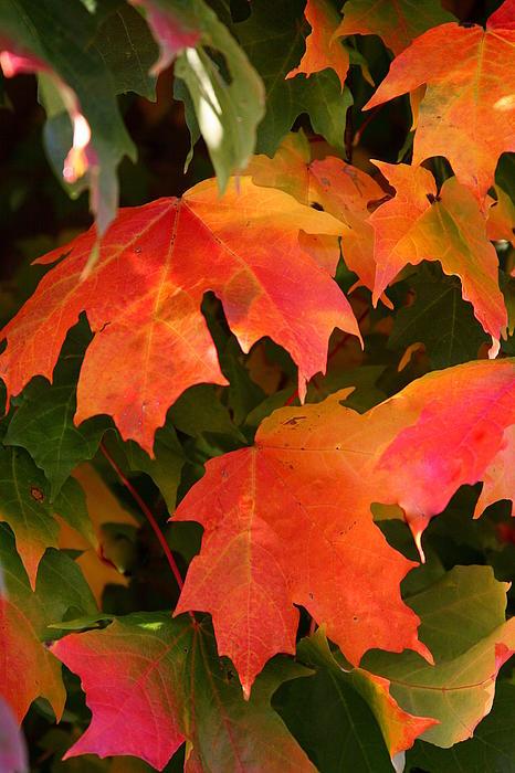 Autumn's Peak Print by Paula Tohline Calhoun