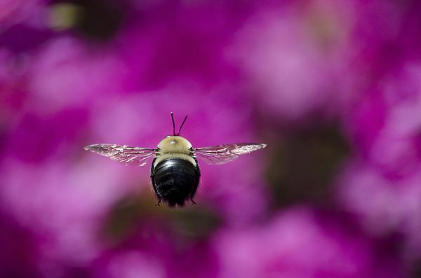 Brian Stevens - Azalea bush bee