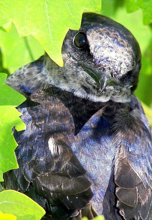 Baby Bluejay Peek Print by Karen Wiles