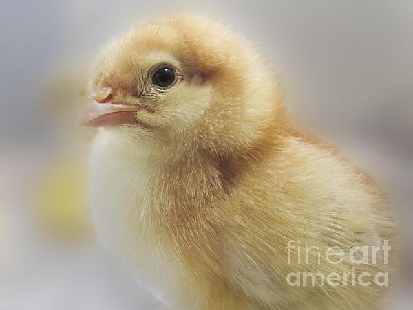 Baby Chicken Print by Darleen Stry