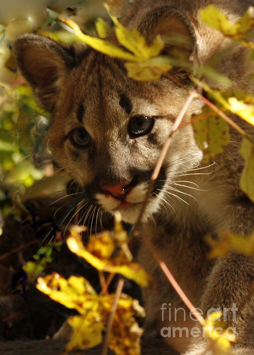 Baby Cougar Watching You Print by Inspired Nature Photography By Shelley Myke