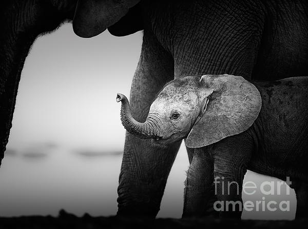 Baby Elephant Next To Cow  Print by Johan Swanepoel