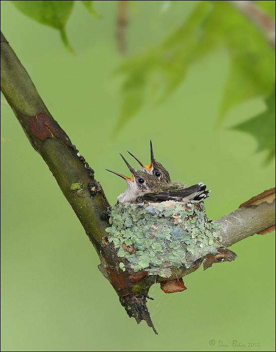 Baby Hummingbirds By Daniel Behm