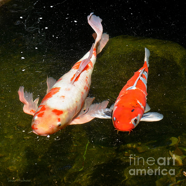 Baby koi makes an appearance by susan wiedmann for What to feed baby koi