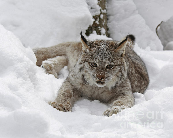 Baby Lynx In A Winter Snow Storm Print by Inspired Nature Photography By Shelley Myke