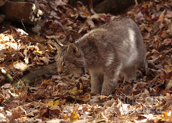 Baby Lynx On The Look Out Print by Inspired Nature Photography By Shelley Myke
