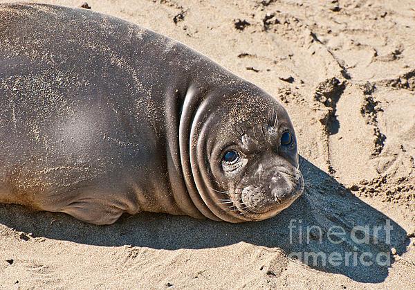 Baby Northern Elephant Seals Mirounga Angustirostris At The Piedras Blancas Beach Print by Jamie Pham