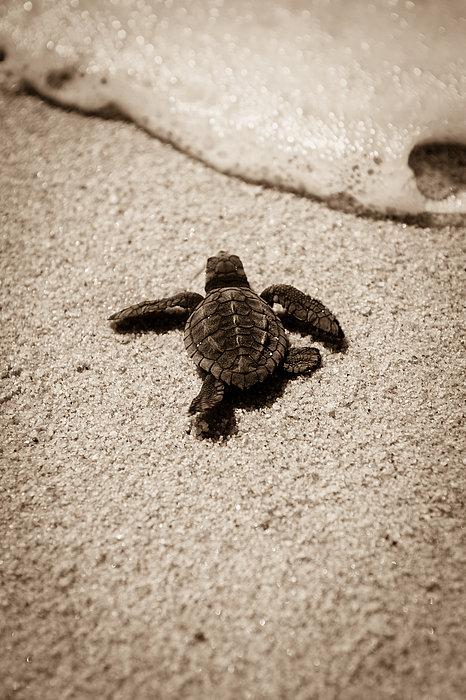 Baby Sea Turtle Print by Sebastian Musial: fineartamerica.com/featured/baby-sea-turtle-sebastian-musial.html