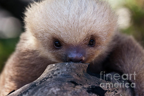 Baby Sloth 2 Photograph