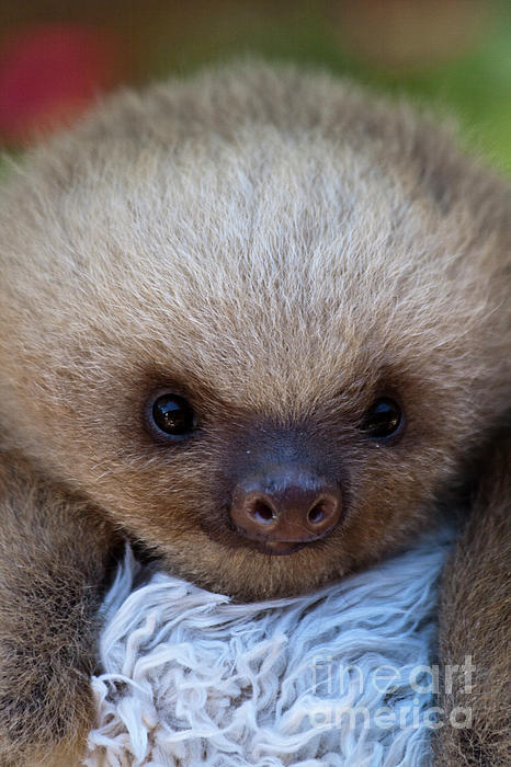 Baby Sloth Print by Heiko Koehrer-Wagner