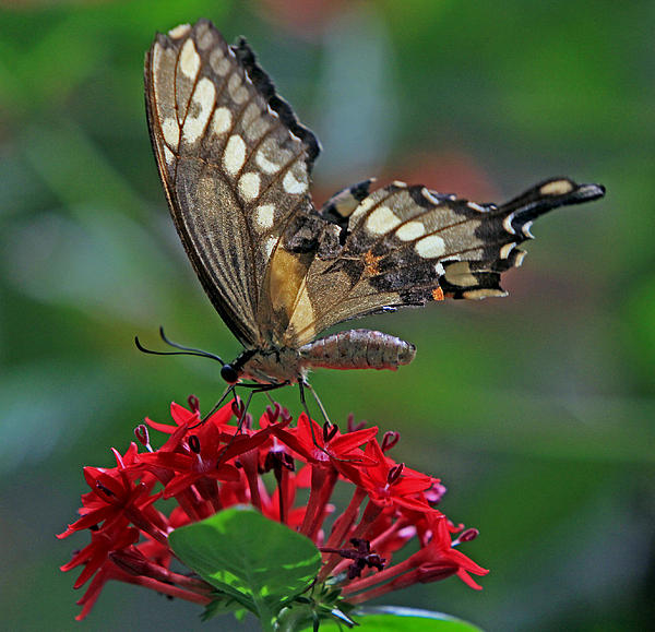 Larry Nieland - Backlit swallowtail