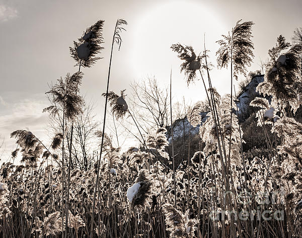 Backlit Winter Reeds Print by Elena Elisseeva