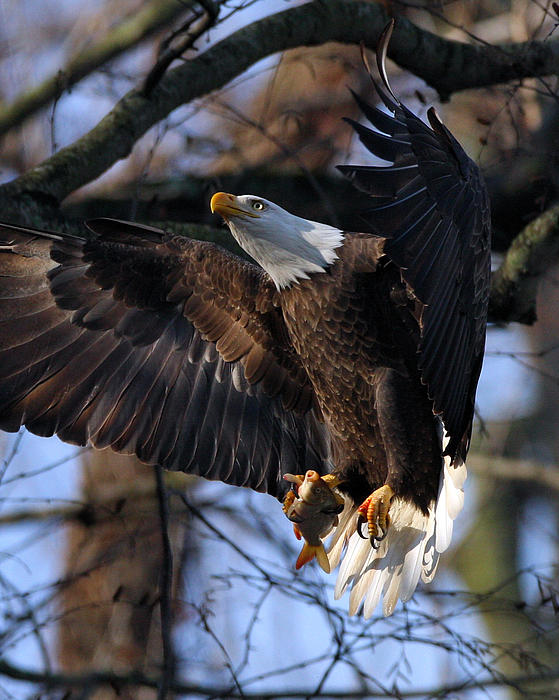 Bald Eagle Print by Angel Cher