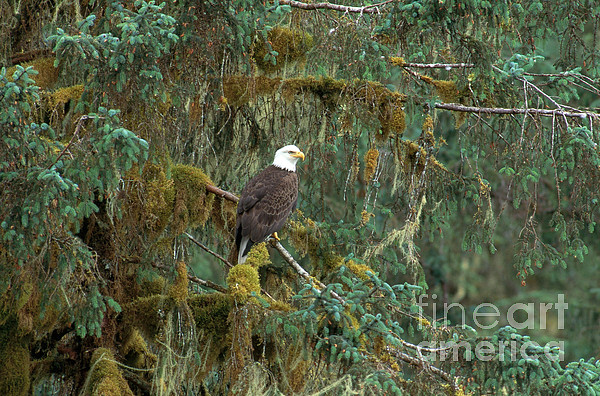 Bald Eagle Print by Art Wolfe