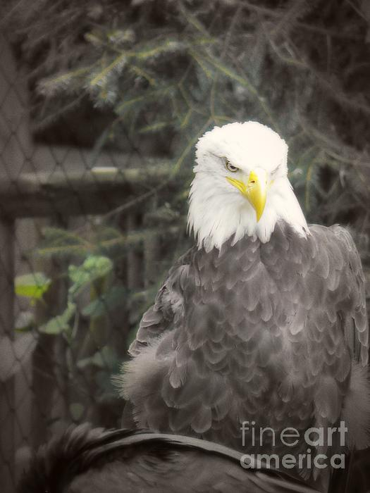 Bald Eagle Print by Dawn Gari