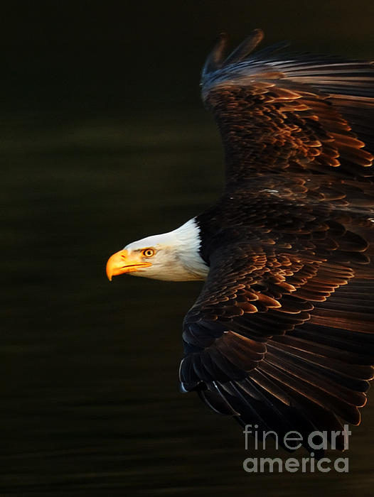 Bald Eagle In Flight Print by Bob Christopher