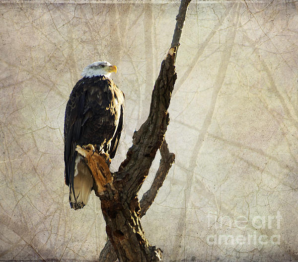 Luther   Fine Art - Bald Eagle Keeping Watch in Illinois