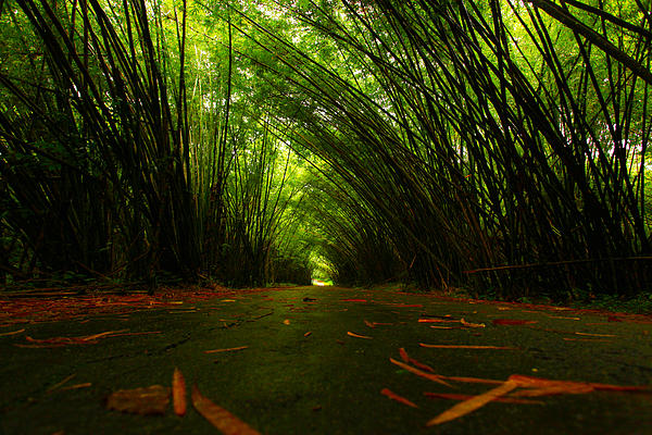 Bamboo Cathedral Print by Dexter Browne