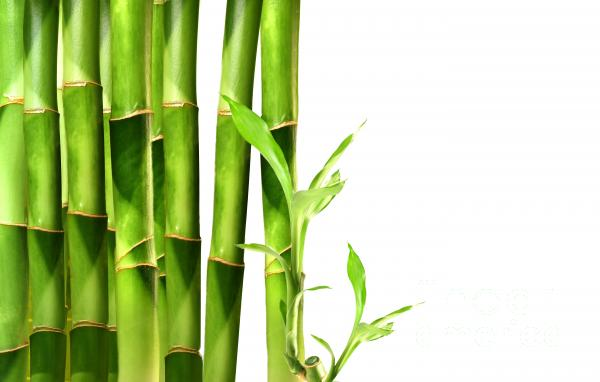 Bamboo Shoots Stacked Side By Side Print by Sandra Cunningham