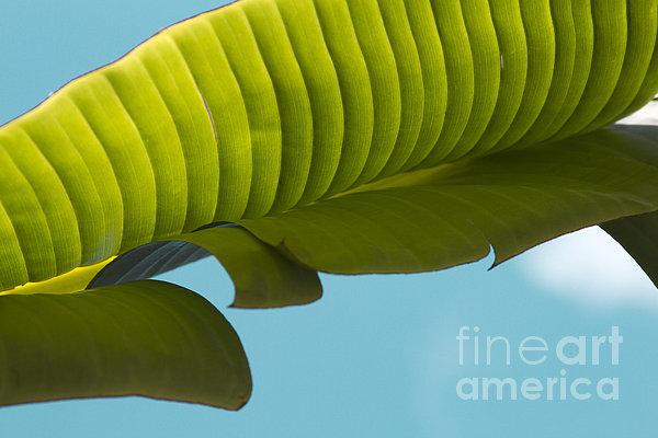 Banana Leaf And Maui Sky Print by Sharon Mau