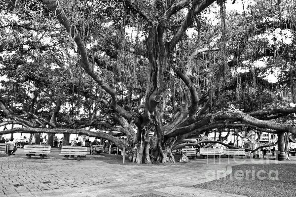 Banyan Tree Print by Scott Pellegrin