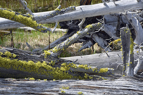 Bare Logs And Lichen In Yellowstone Print by Bruce Gourley