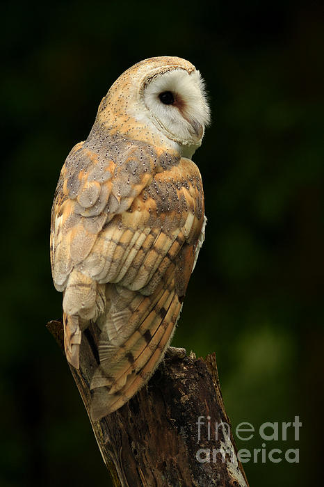 Barn Owl At Twilight Print by Inspired Nature Photography By Shelley Myke