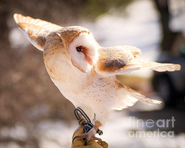 Barn Owl In The Breeze Print by Lori England Zornes