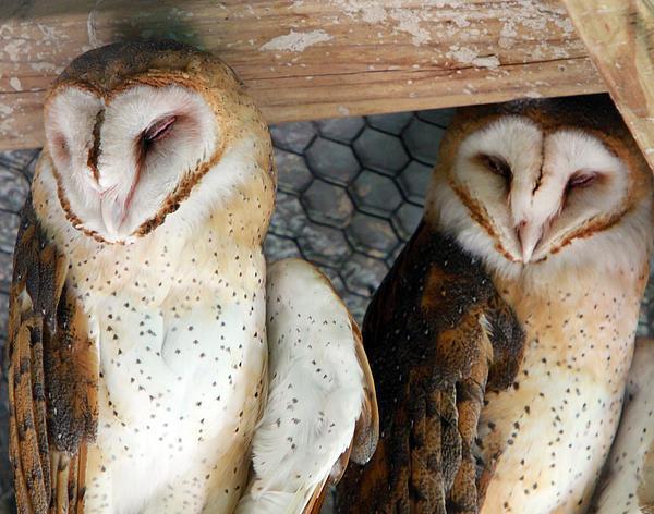 Barn Owls Print by David Yunker