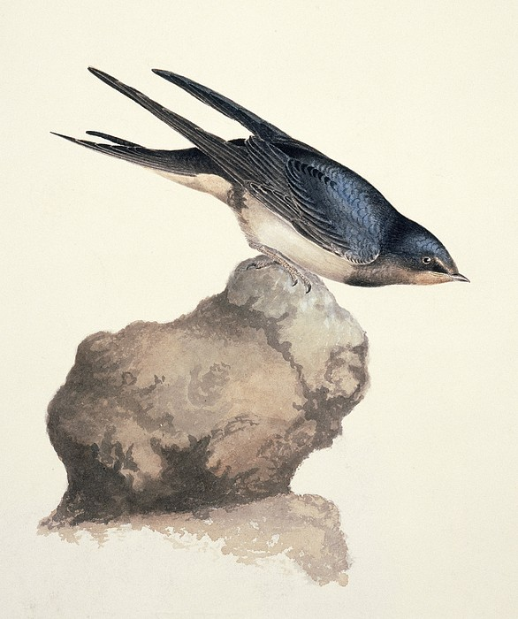 Barn Swallow, 19th Century Print by Science Photo Library