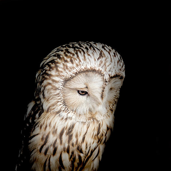 Bill  Wakeley - Barred Owl