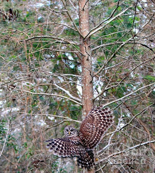 Barred Owl In Flight 3 Print by Randy Matthews