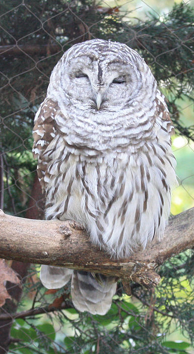 John Telfer - Barred Owl