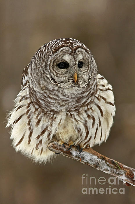 Inspired Nature Photography By Shelley Myke - Barred Owl on a Winter Day