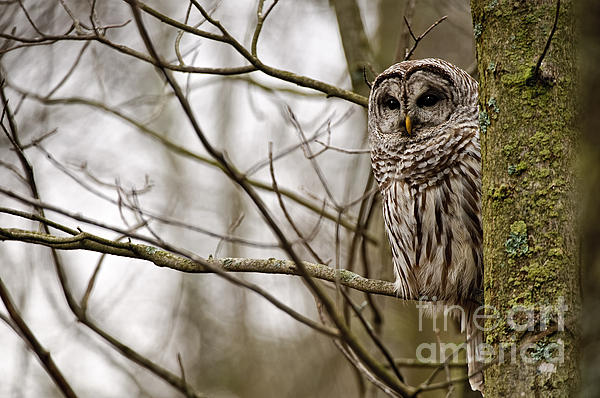 World Wildlife Photography - Barred Owl Pictures 61