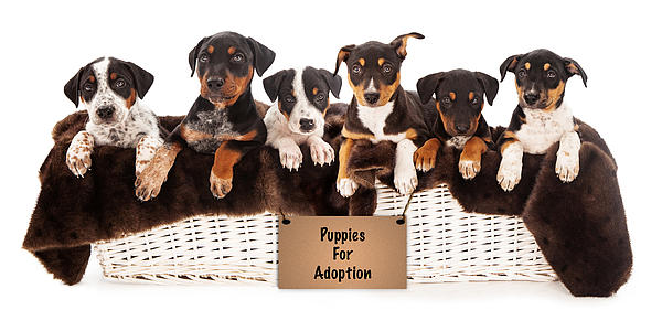 Basket Of Mixed Breed Puppies Print by Susan  Schmitz