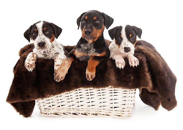 Basket Of Rottweiler Mixed Breed Puppies Print by Susan  Schmitz