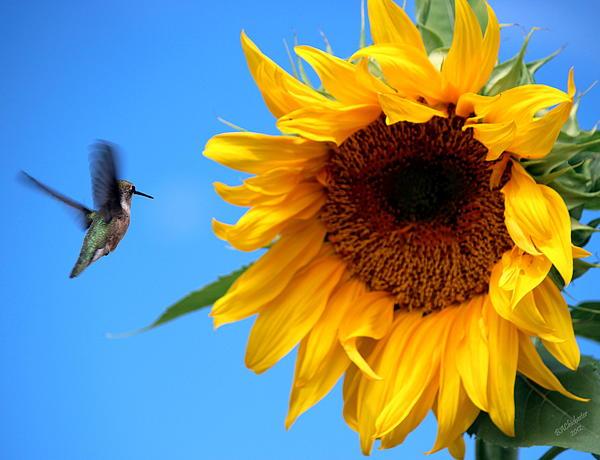 Be My Sunflower Hummingbird Print by Barbara Chichester