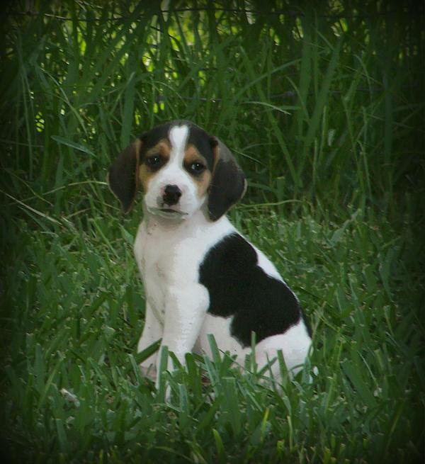 Beagle Puppy 4 Print by Lynn Griffin