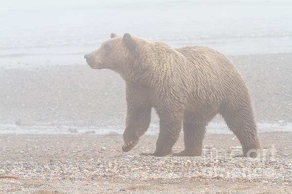 Chris Scroggins - Bear in Fog