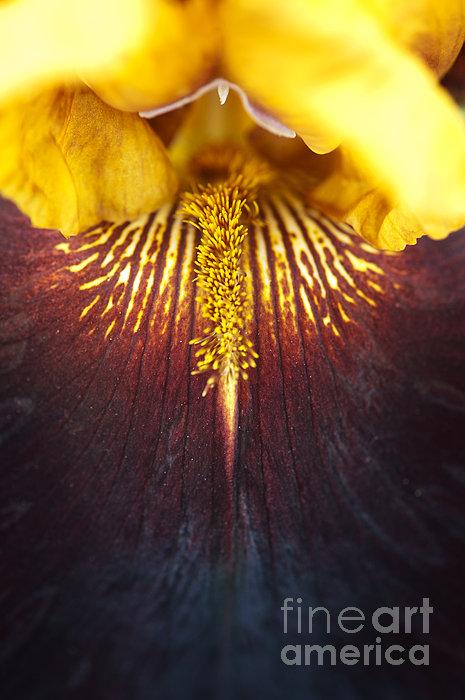 Bearded Iris 'supreme Sultan' Print by Tim Gainey